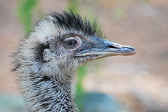 Tête d'Emu Photo stock