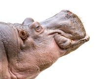 Tête d'hippopotame sur le blanc Image stock