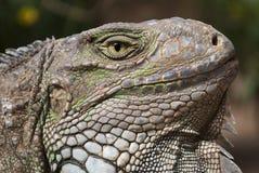 Tête d'iguane Photos stock
