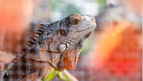 Tête d'iguane photos libres de droits