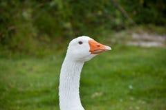 Tête d'oie Photo libre de droits