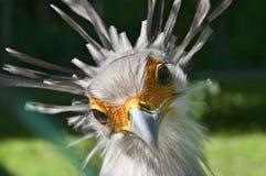 Tête d'oiseau de secrétaire dans l'avant photo stock