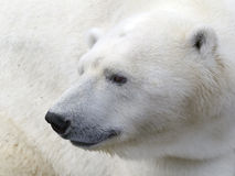 Tête d'ours blanc Photos stock