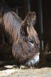Tête d'un âne dans une grange Image libre de droits