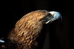 Tête d'un aigle sur un fond noir Images libres de droits