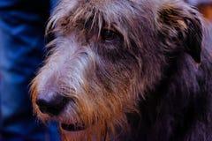 Tête d'un beau chien de chien-loup irlandais image stock