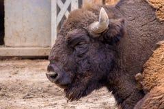 Tête d'un bison herbivore au zoo image stock