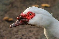 Tête d'un canard Images stock
