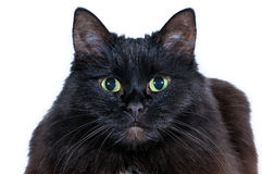 Tête d'un chat noir sur un fond blanc Image stock