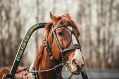 Tête d'un cheval dans le harnais image libre de droits
