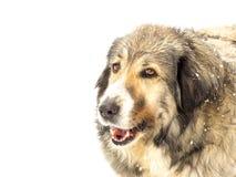 Tête d'un chien aux cheveux longs dans la neige Image stock