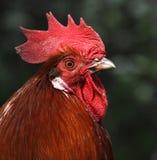 Tête d'un domesticus de gallus de Gallus de coq de coq Images stock