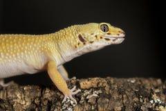 Tête d'un gecko de léopard sur un tronc d'arbre image stock