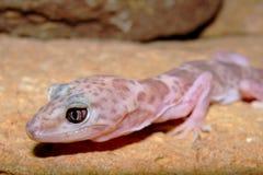 Tête d'un Gecko réticulé, reticulatus de Coleonyx image libre de droits