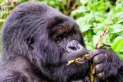 Tête d'un gorille de montagne de silverback Photographie stock
