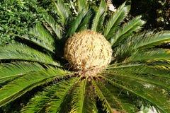 Tête d'un palmier de sagou photo libre de droits