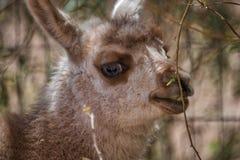 Tête d'un petit lama mignon de bébé images stock