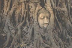 Tête de Bouddha embeded dans le banian Photo libre de droits