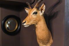 Tête de cerfs communs Photos libres de droits