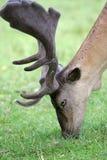 Tête de cerfs communs photo libre de droits