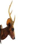 Tête de cerfs communs Photographie stock