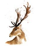Tête de cerfs communs d'isolement sur le fond blanc Photo libre de droits