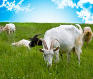 Tête de chèvres dans la forêt Images libres de droits