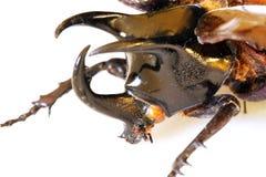 tête de chalcasoma de coléoptère d'atlas image stock