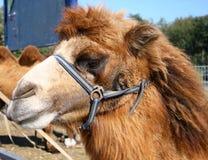 Tête de chameau Photos libres de droits