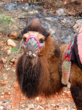 Tête de chameau Photo stock