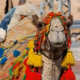 Tête de chameau image libre de droits