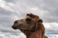Tête de chameau Images stock