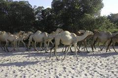 Tête de chameau Photo libre de droits