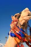 Tête de chameau dans le Moyen-Orient Images libres de droits