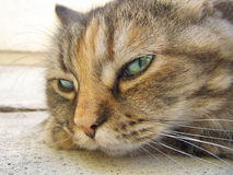 Tête de chat persan Photos libres de droits