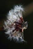 Tête de chat sur un pissenlit Photographie stock libre de droits