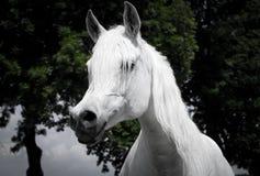 Tête de cheval Arabe, photo stock