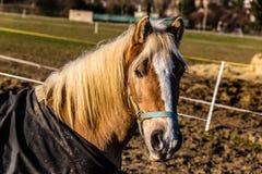 Tête de cheval avec le licou pendant le Sunny Winter Day Image stock