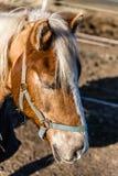 Tête de cheval avec le licou pendant le Sunny Winter Day Photo libre de droits