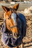 Tête de cheval avec le licou pendant le Sunny Winter Day Photos libres de droits