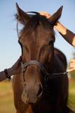Tête de cheval brun dans le pré - sport équestre photo stock