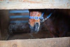 Tête de cheval de Brown dans une stalle Images stock