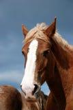 Tête de cheval de trait Photos libres de droits