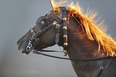 Tête de cheval de trait de Brown avec le fond gris Photographie stock
