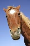 Tête de cheval maladroite Images stock