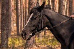Tête de cheval noire Images stock