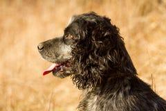 Tête de chien d'épagneul photo libre de droits