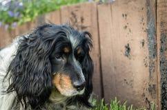 Tête de chien d'épagneul contre le jour ensoleillé de vieil été en bois de barrière Photo stock
