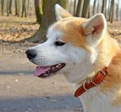 Tête de chien d'Akita Inu image libre de droits