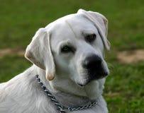 Tête de chien d'arrêt de Labrador Photos stock